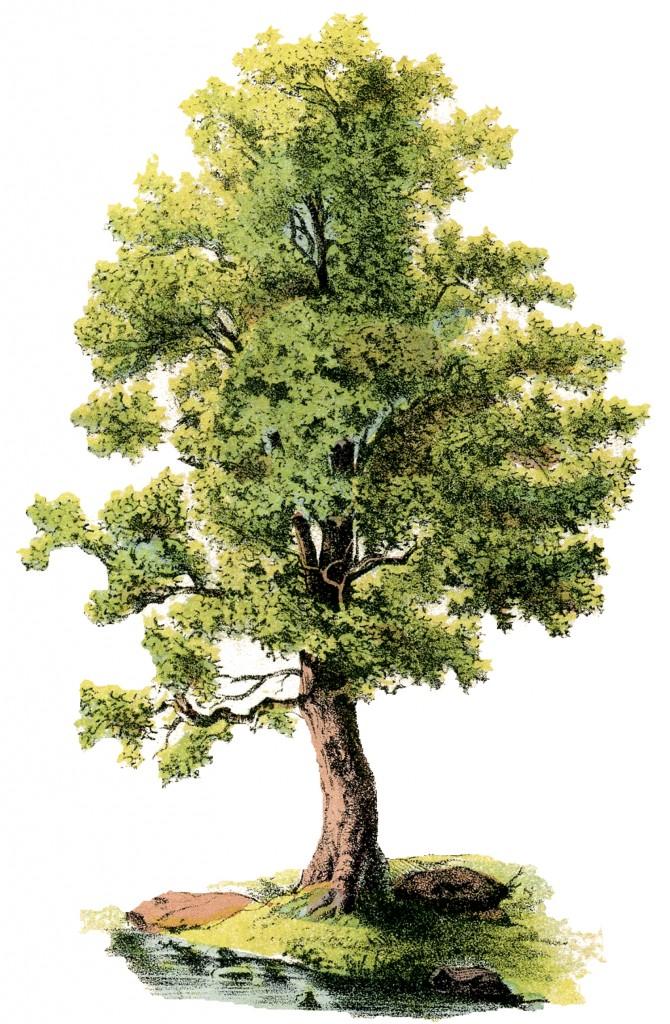 Antique Shade Tree Image
