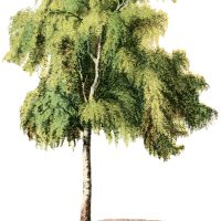 Vintage Tree Illustration