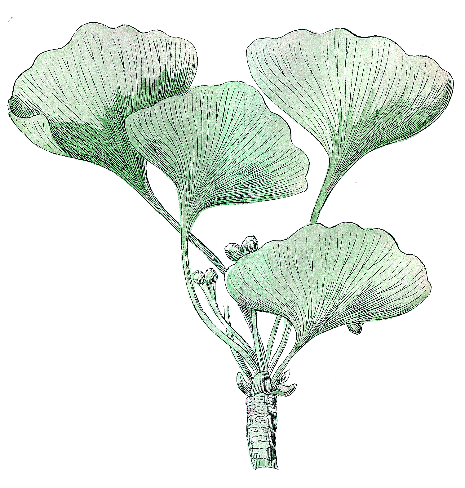 The Graphics Fairy: Ginkgo Biloba Image