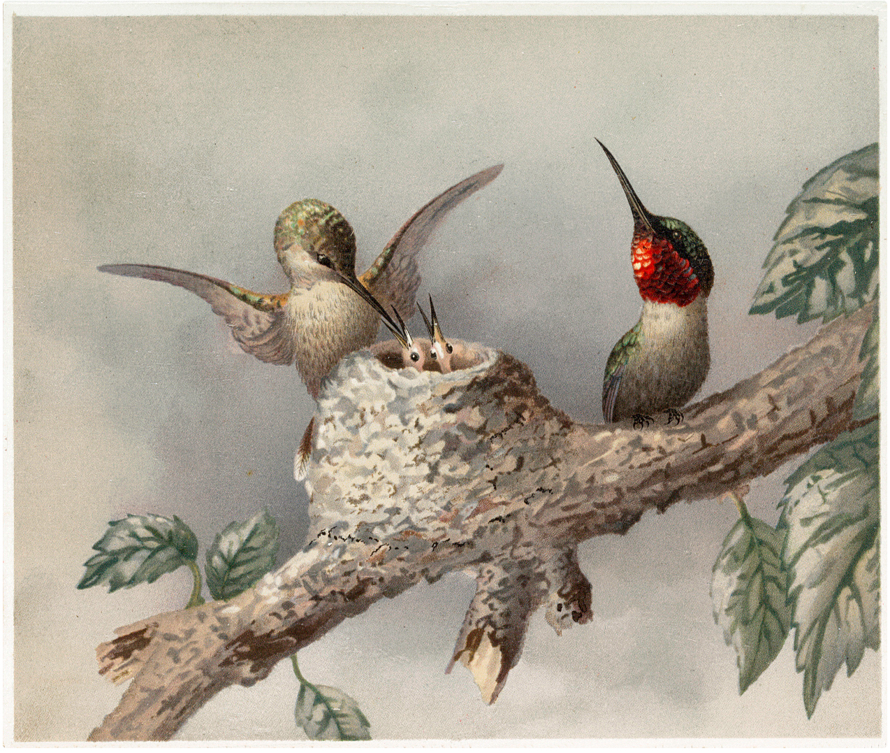 Hummingbirds with Nest Image