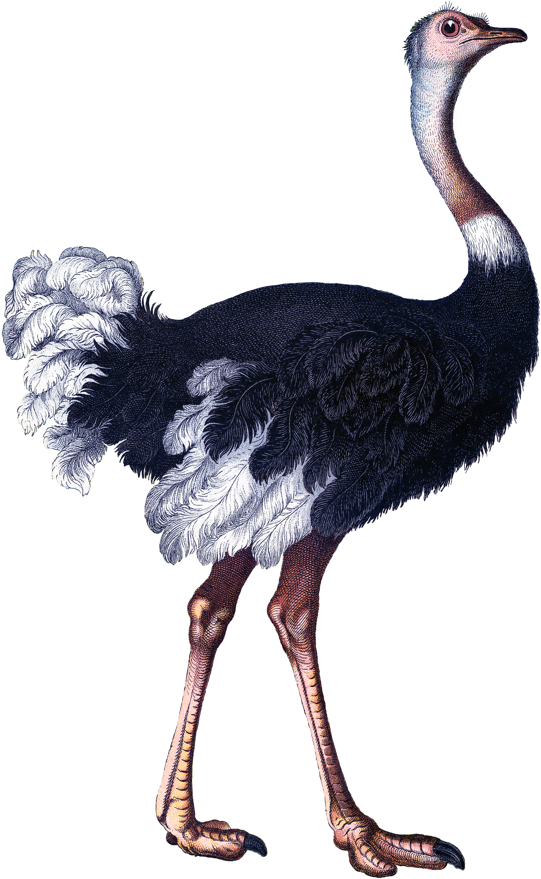 Vintage Ostrich Image - The Graphics Fairy