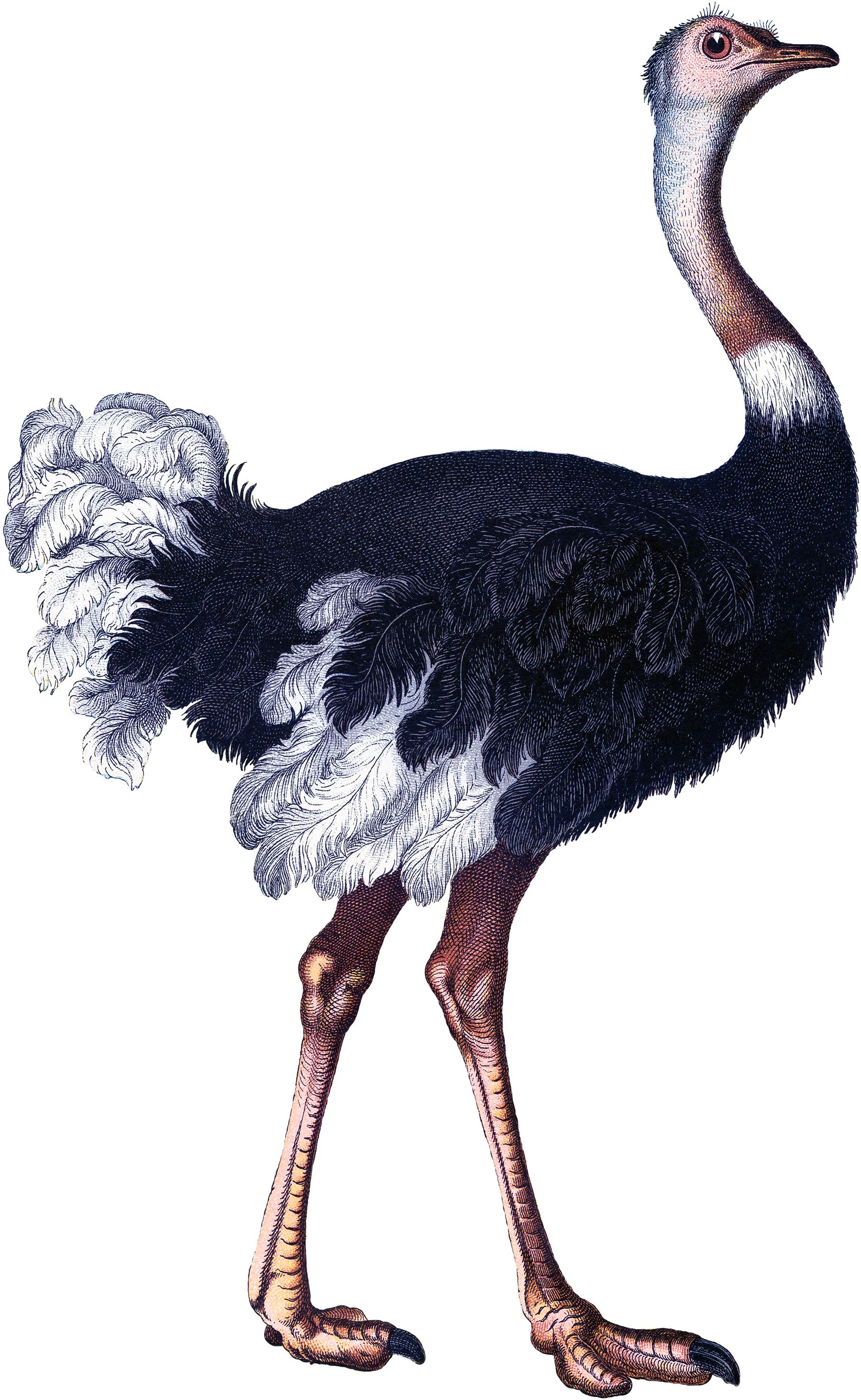 Vintage ostrich image the graphics fairy - Autruche dessin ...