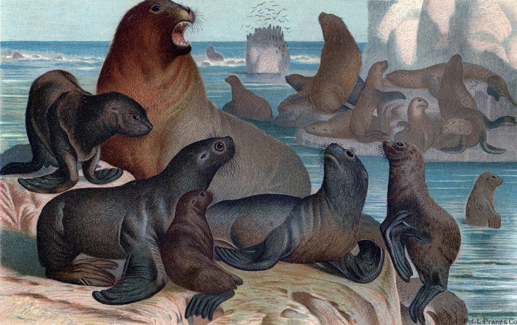 Sea Lions Print