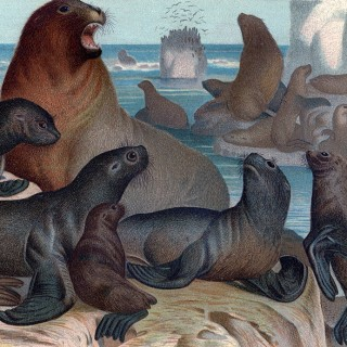 Antique Sea Lions Print