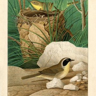 Vintage Birds and Nest Printable – Yellow Throats