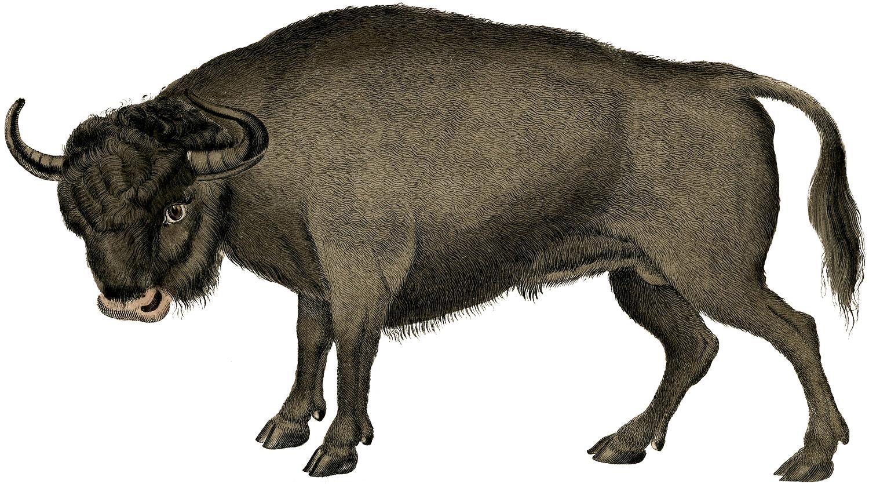 Vintage Bull Image Aurochs