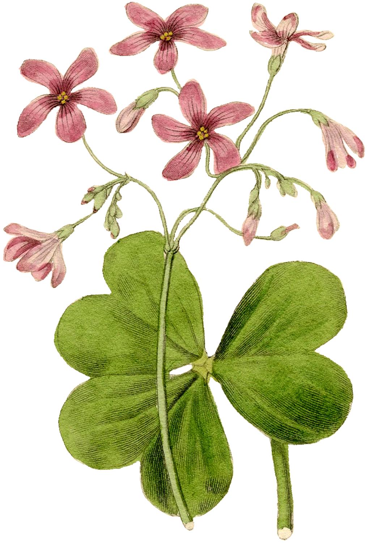 Pink Sorrel Vintage Flower Image