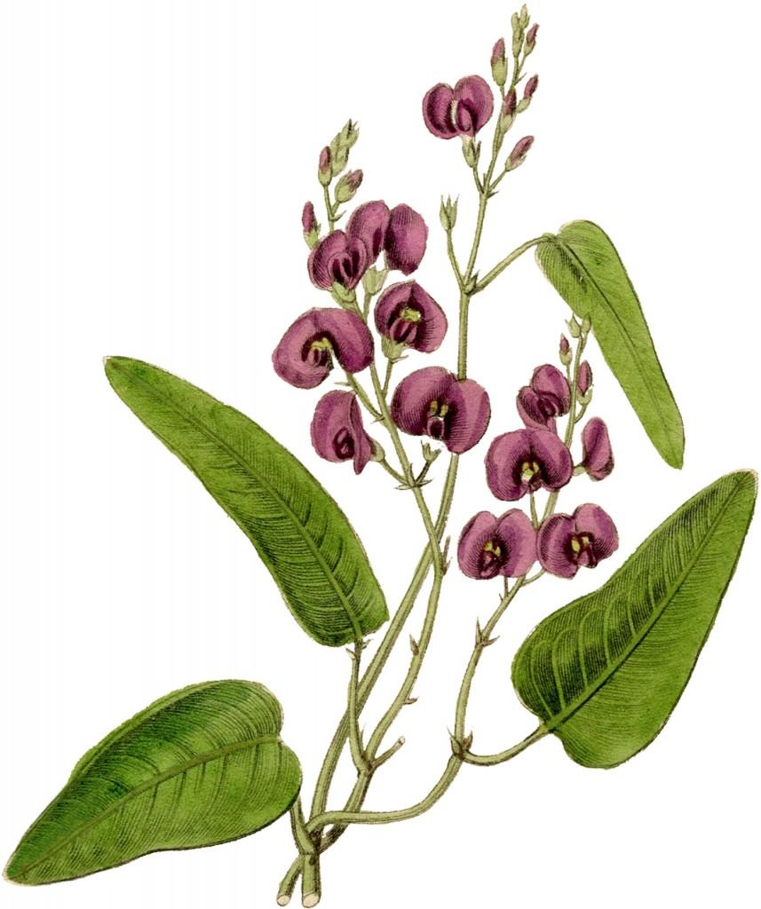 Vintage Flower Graphic - Kennedia