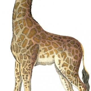 Vintage Giraffe Image