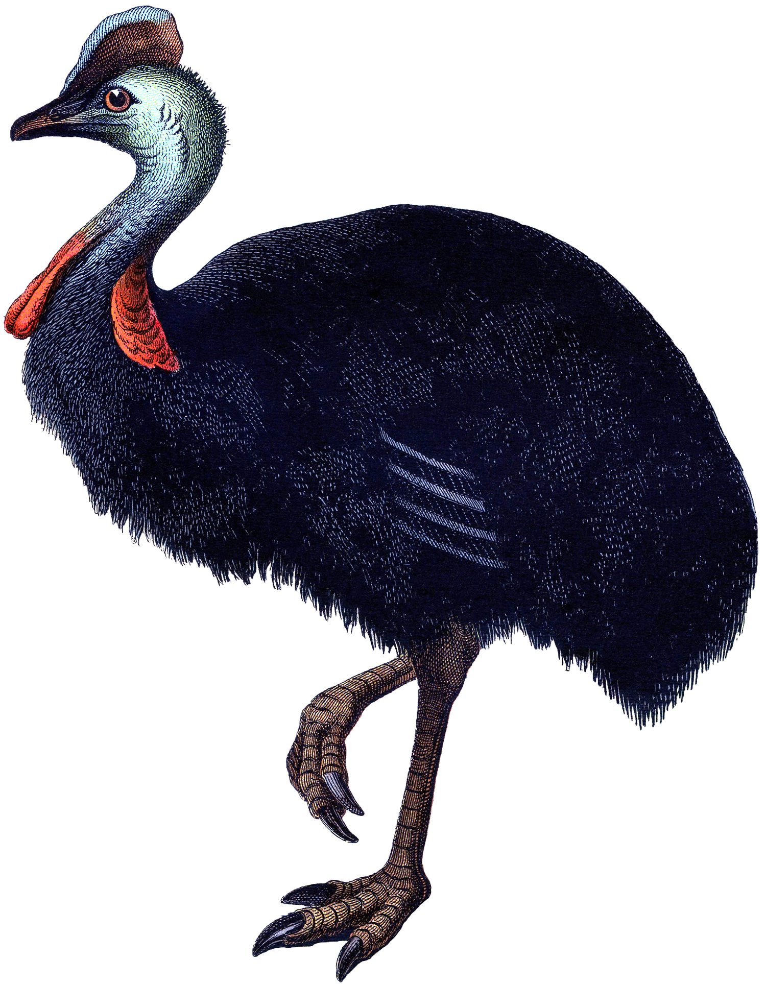Vintage Ostrich Image