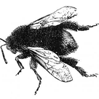Free Stock Image Bumble Bee 2