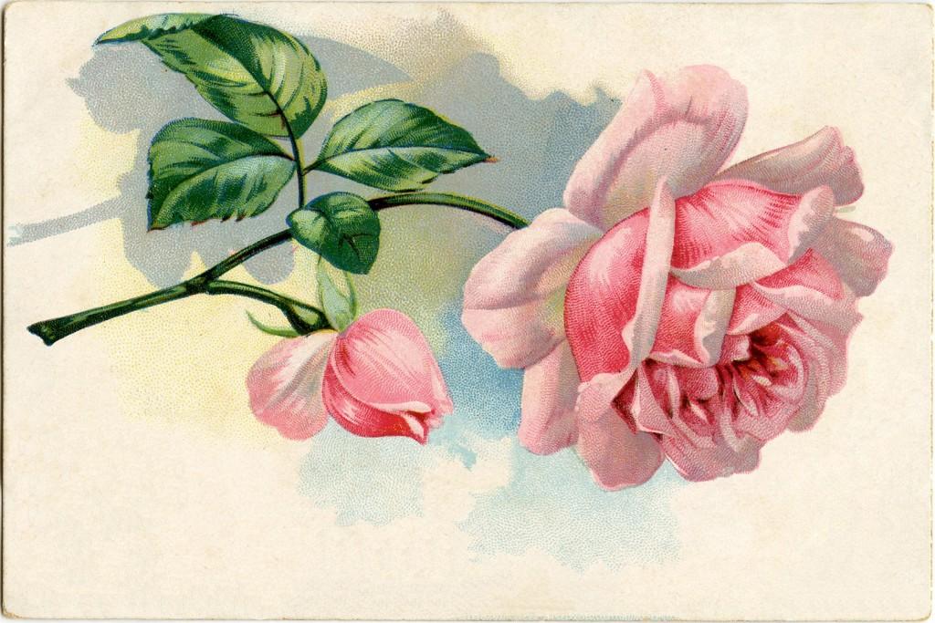 Free Vintage Images Pink Rose