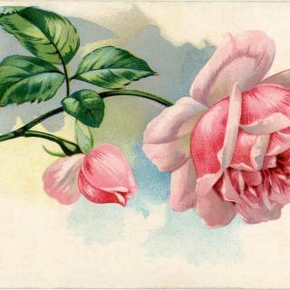 Free Vintage Images – Lovely Pink Rose