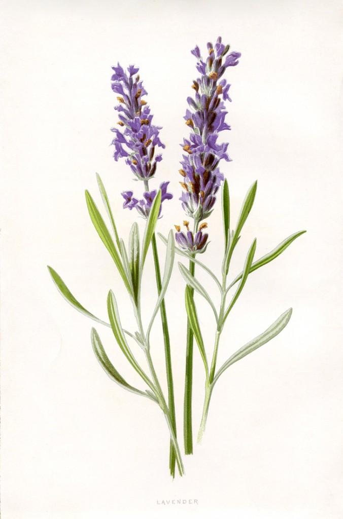 Lavender Botanical Printable