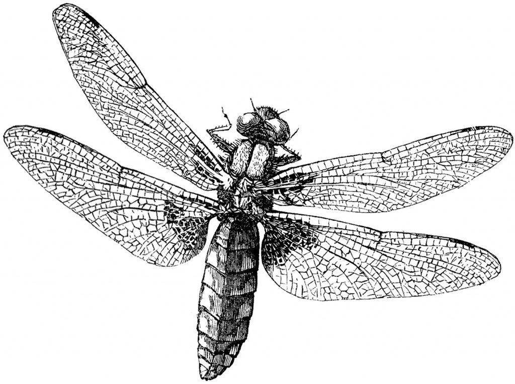 Royalty Free Images Dragonfly