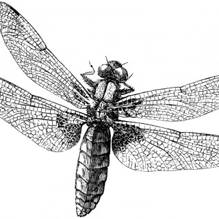Royalty Free Images – Dragonfly