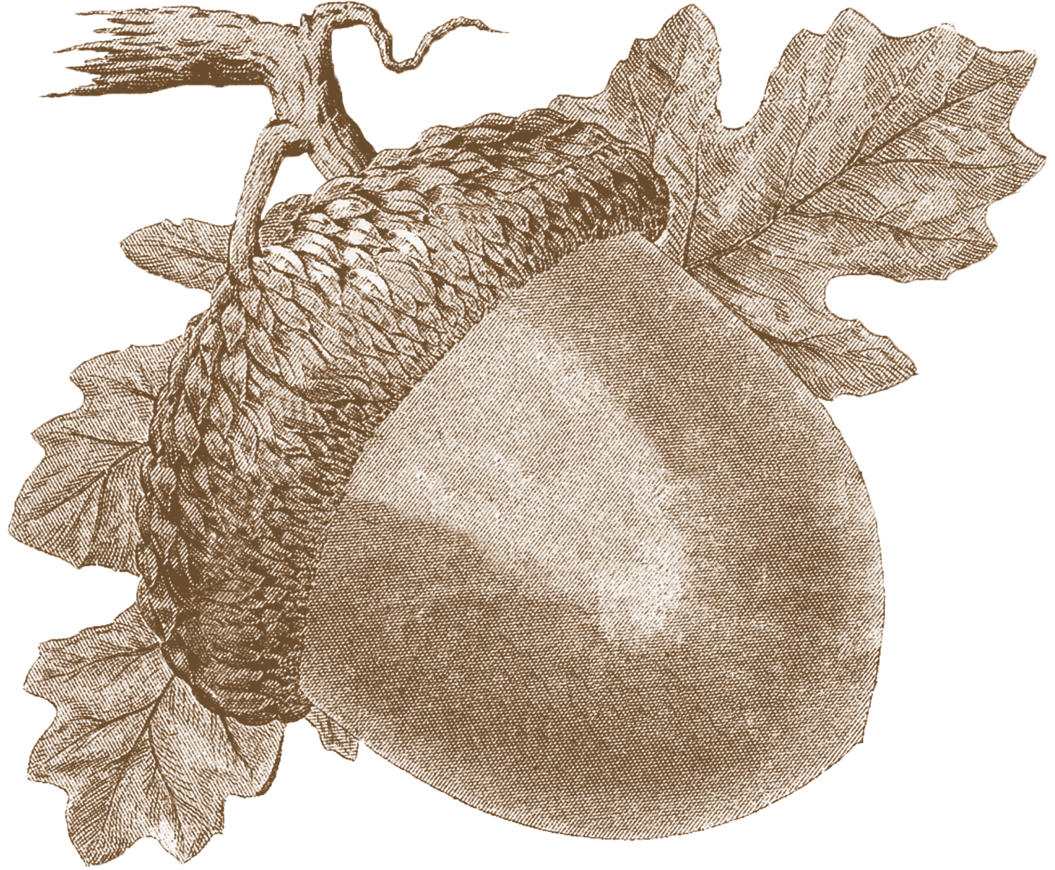 Vintage acorn images fall the graphics fairy for Graphics fairy