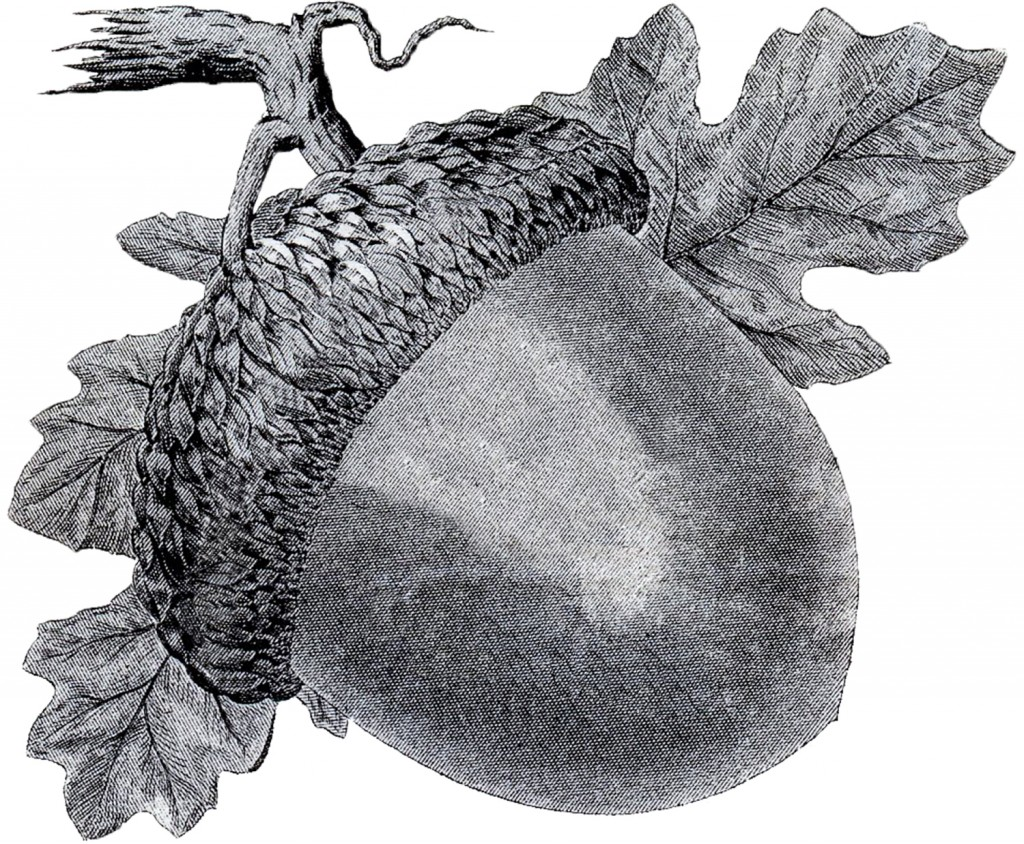 Acorn Clipart Image