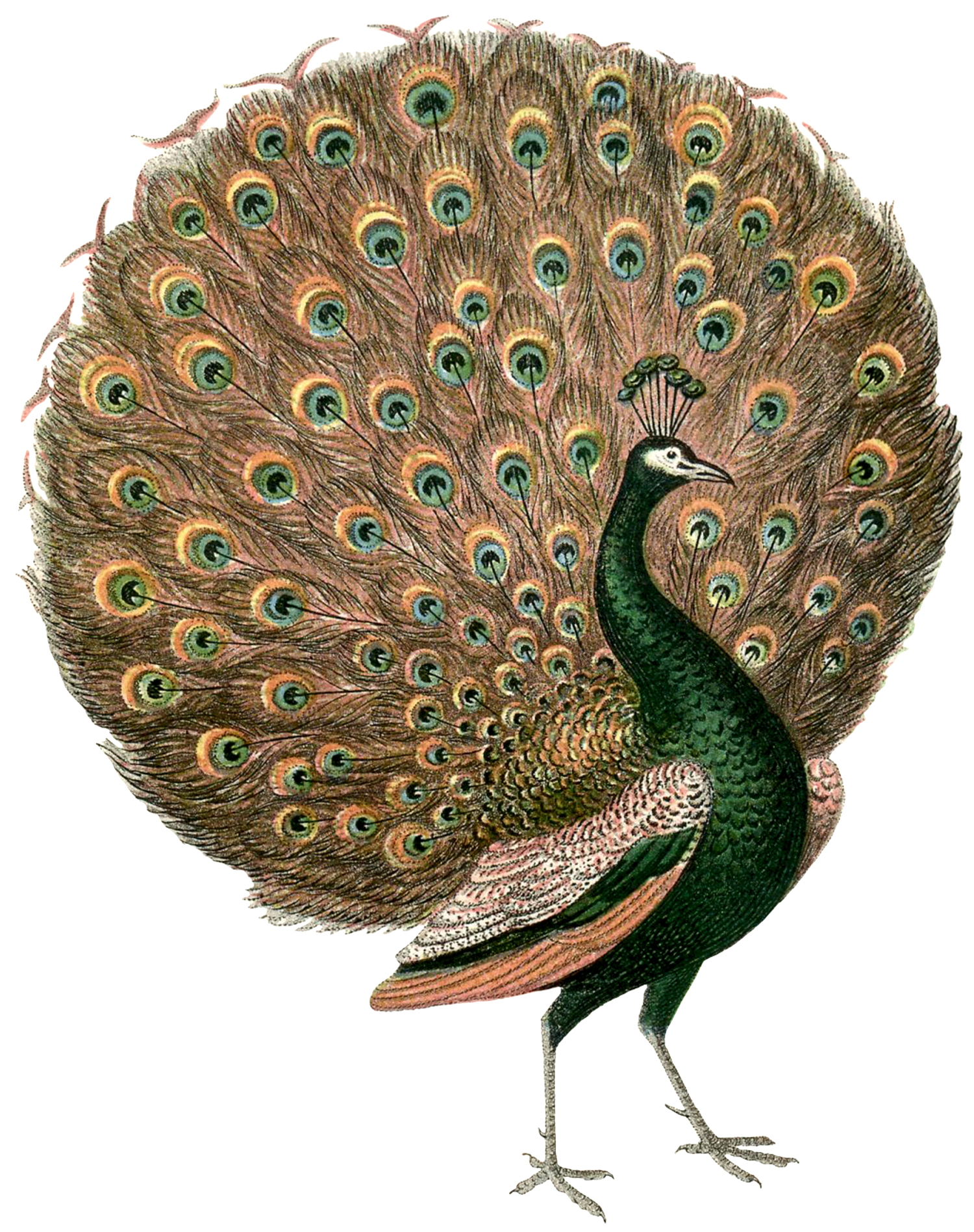 Gorgeous vintage peacock images the graphics fairy - The graphics fairy ...