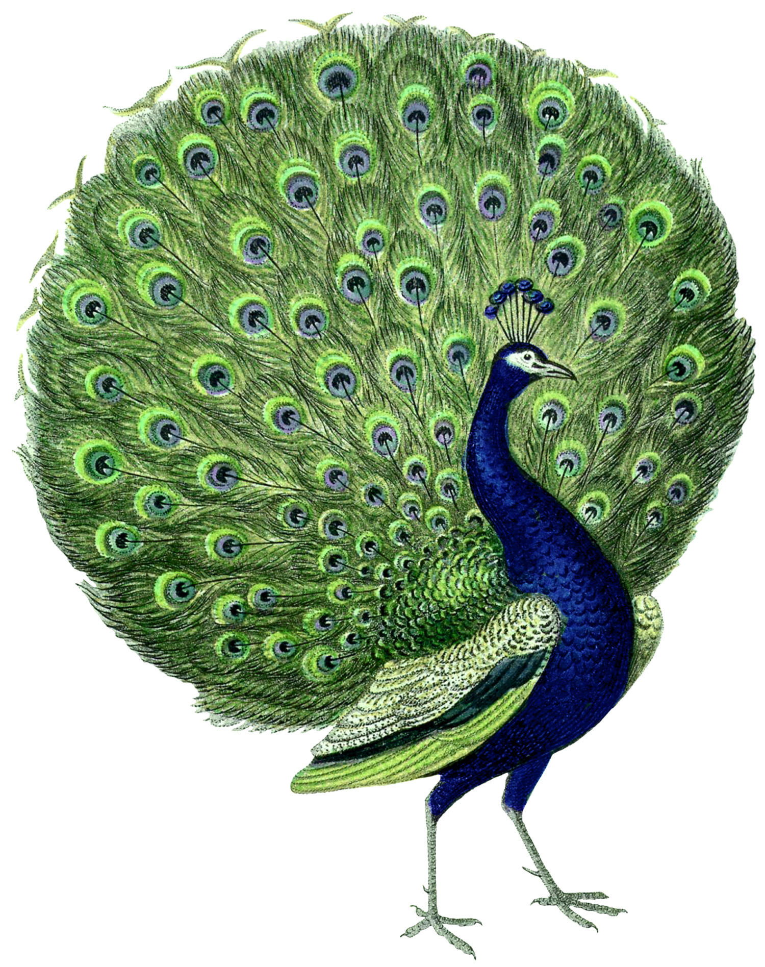 Gorgeous Vintage Peacock Images - The Graphics Fairy