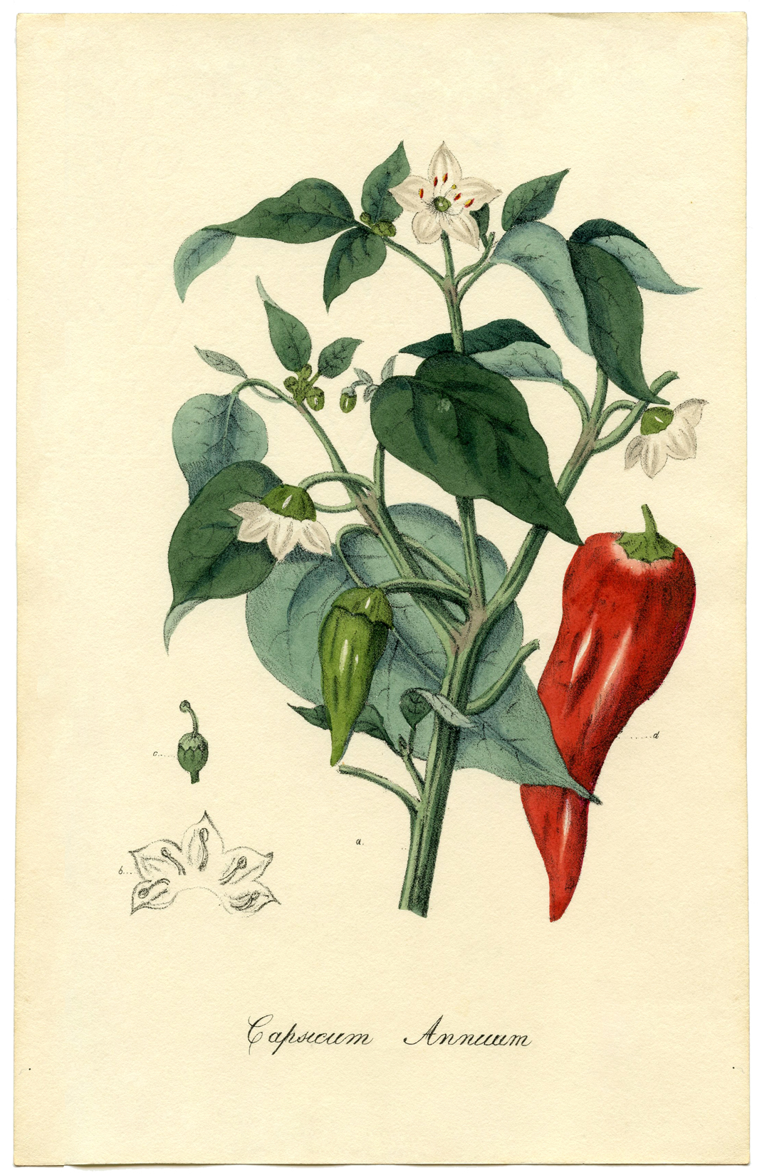 Chili Pepper Botanical Printable - The Graphics Fairy