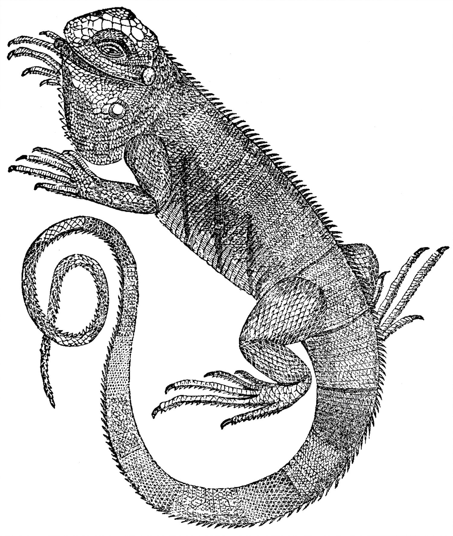 Free Iguana Clip Art - The Graphics Fairy