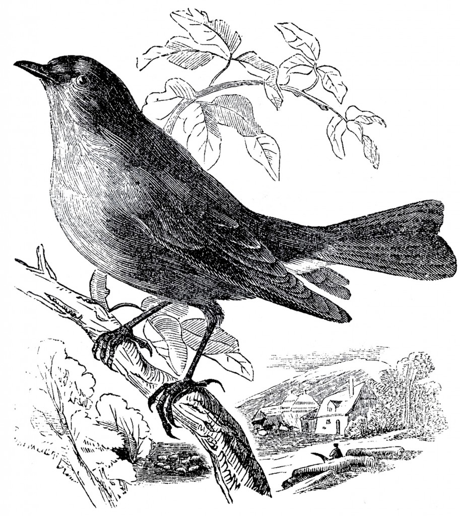 Free Stock Bird Images Engravings