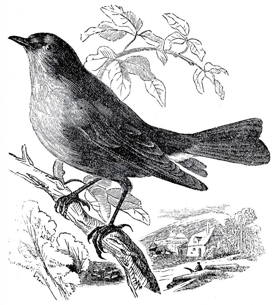 Свободный Склад Гравюры С Изображениями Птиц