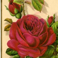 Free-Stock-Image-Red-Rose-GraphicsFairy-3
