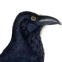 Free-Vintage-Crow-Image-GraphicsFairy-thumb