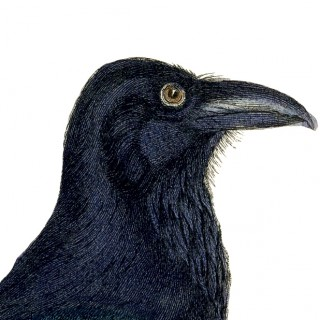 Free Vintage Crow Image