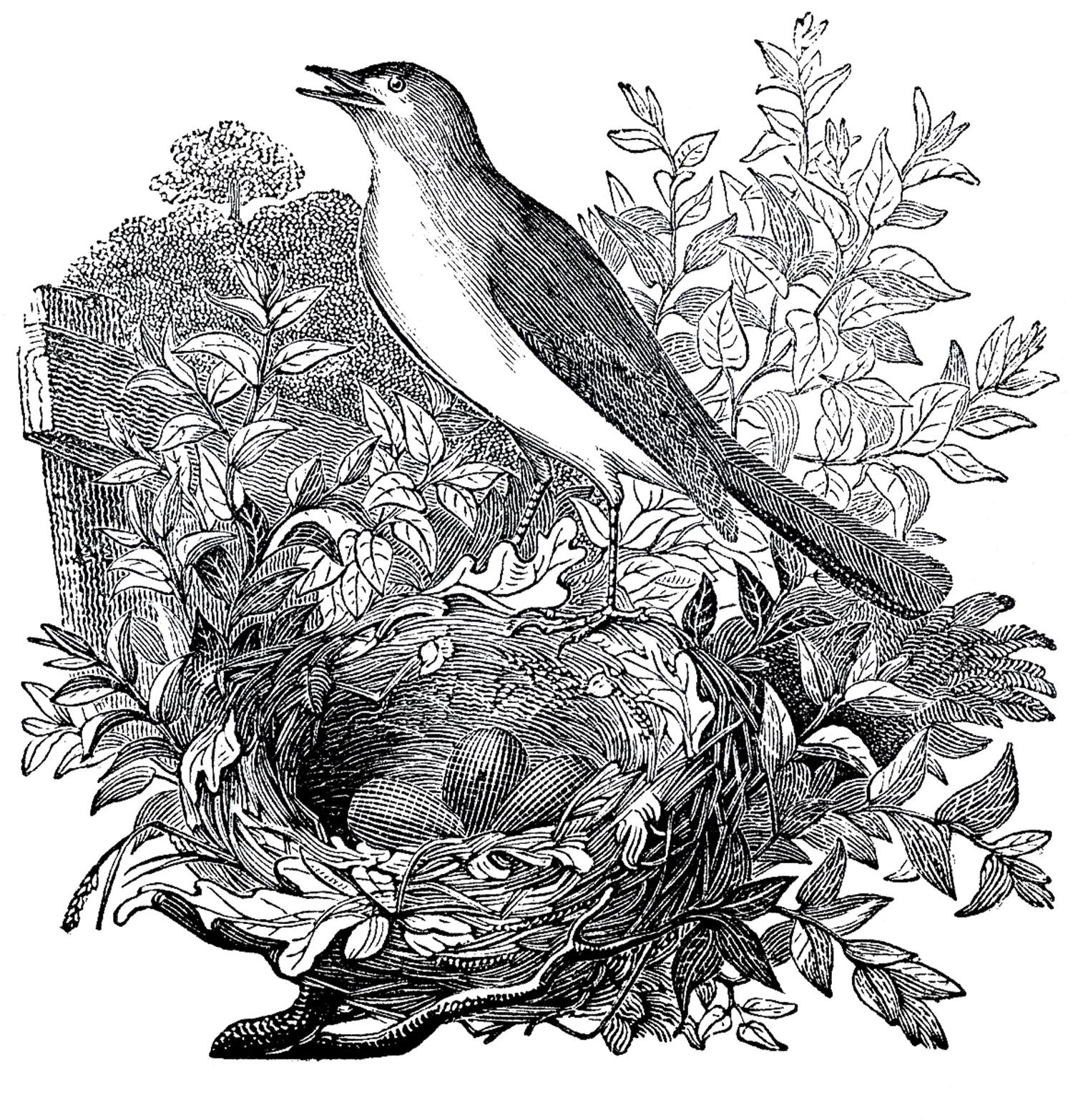 Free Vintage Nightingale Images - The Graphics Fairy
