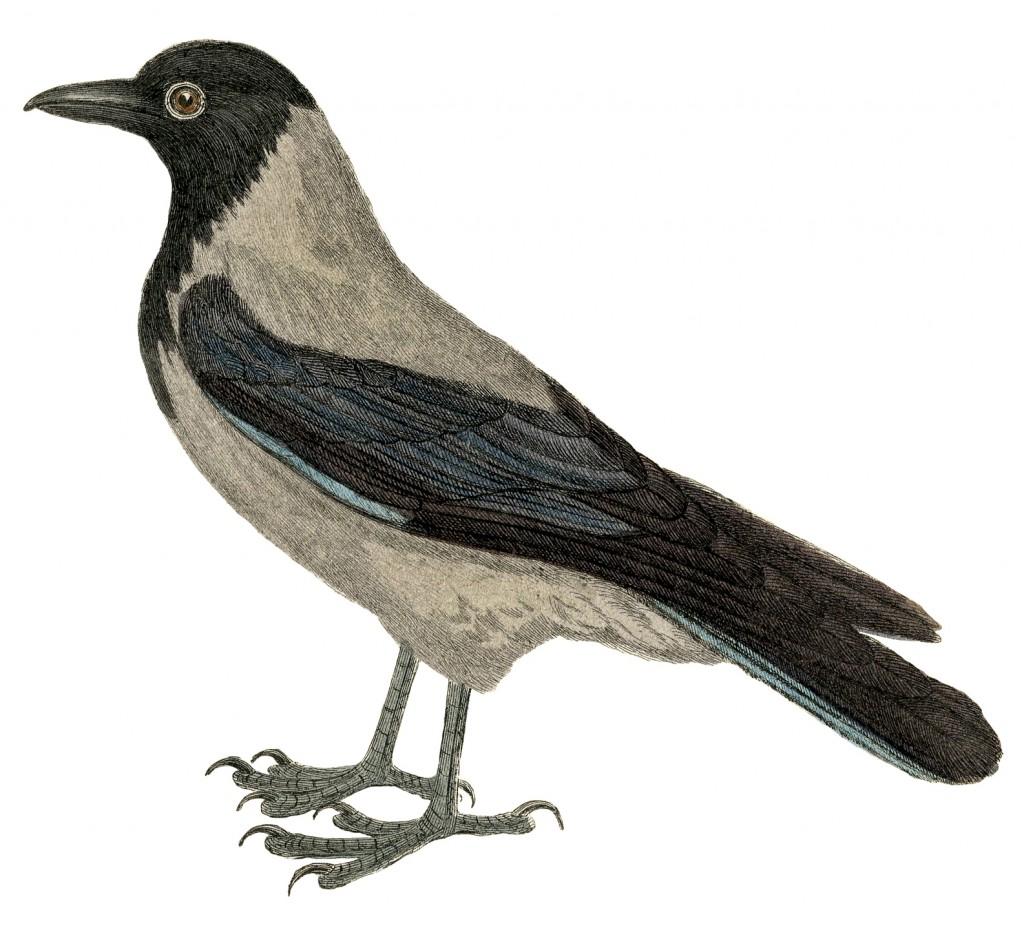 Old Crow Blackbird Image