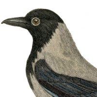 Old-Crow-Blackbird-Image-GraphicsFairy-thumb