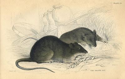 Rats Printable Image