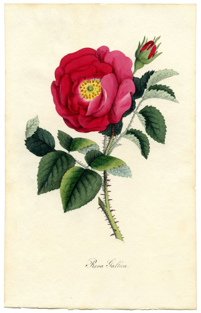 Rose Botanical Print Download