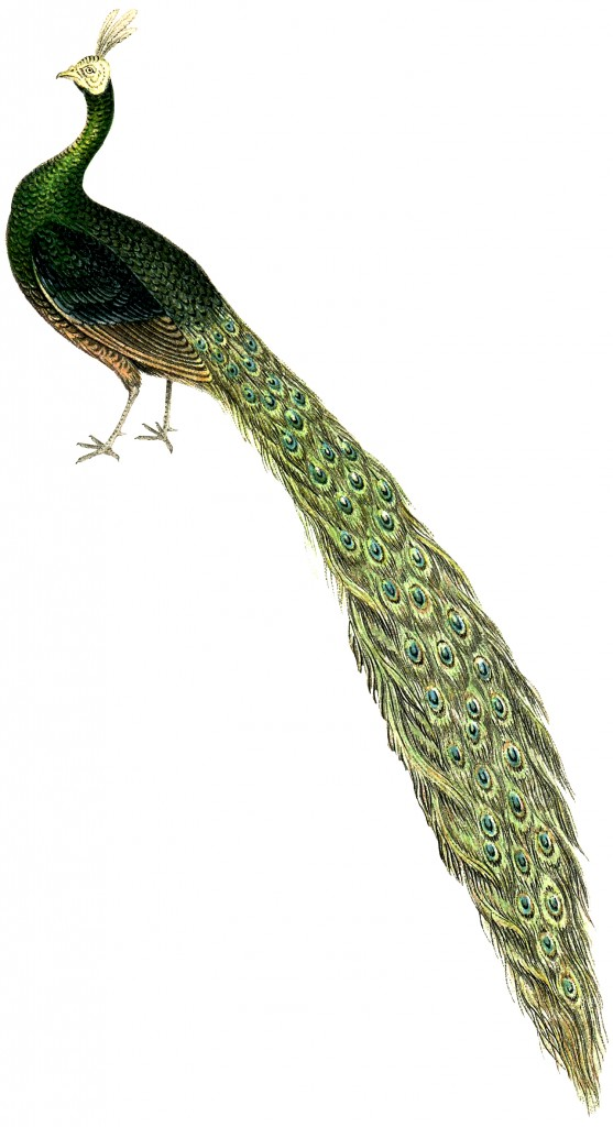 Royalty Free Peacock Image