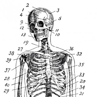 Vintage Anatomy Skeleton Images