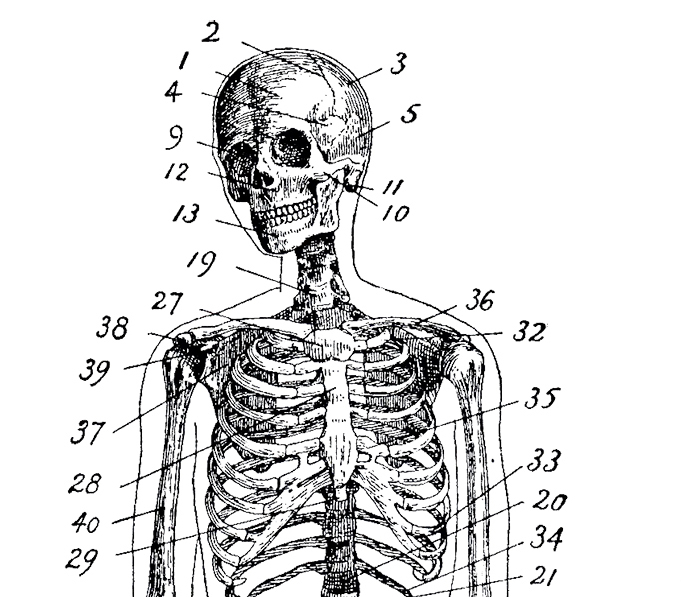 Vintage Anatomy Skeleton Images - The Graphics Fairy