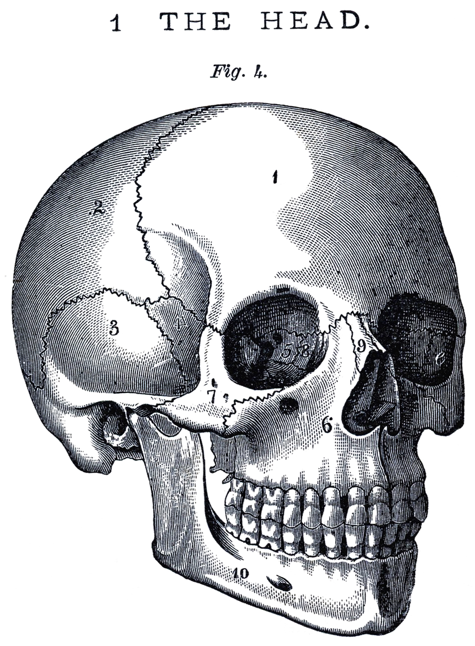 Vintage Anatomy Skull Image - The Graphics Fairy
