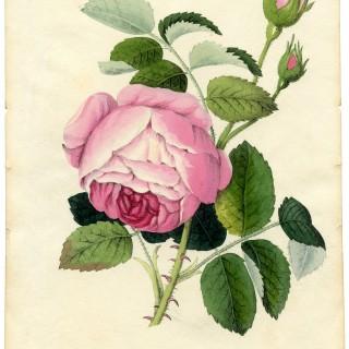 Vintage Printable Botanical Rose