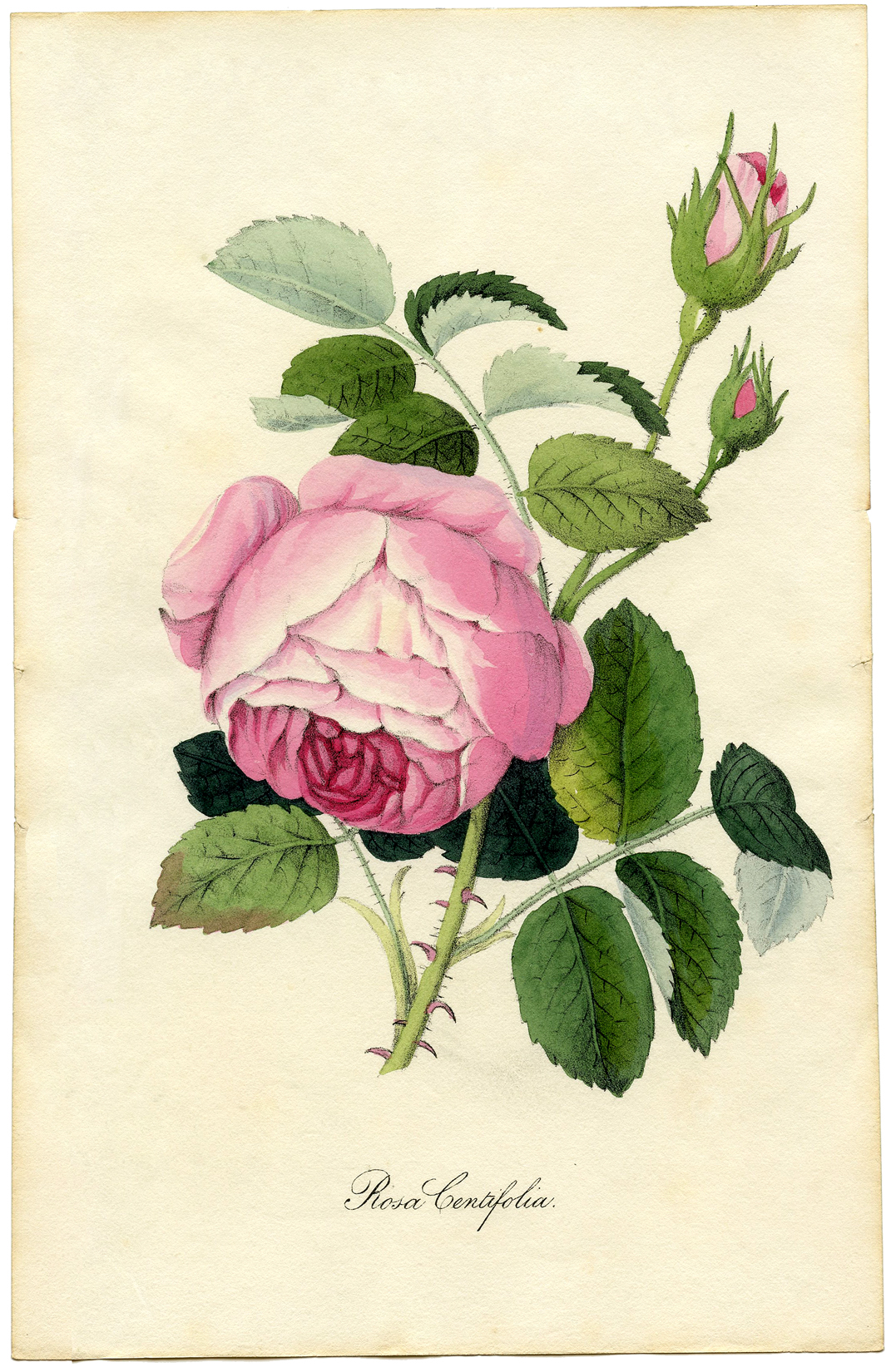 Vintage Printable Botanical Rose  Superb!  The Graphics  -> Vintage Kommode Rosa