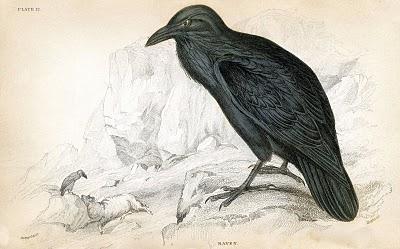 Natural History Raven Image