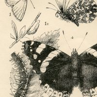 British-Insect-Print-GraphicsFairy-thumb
