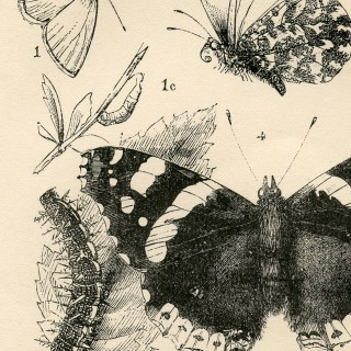 Antique British Insects Print
