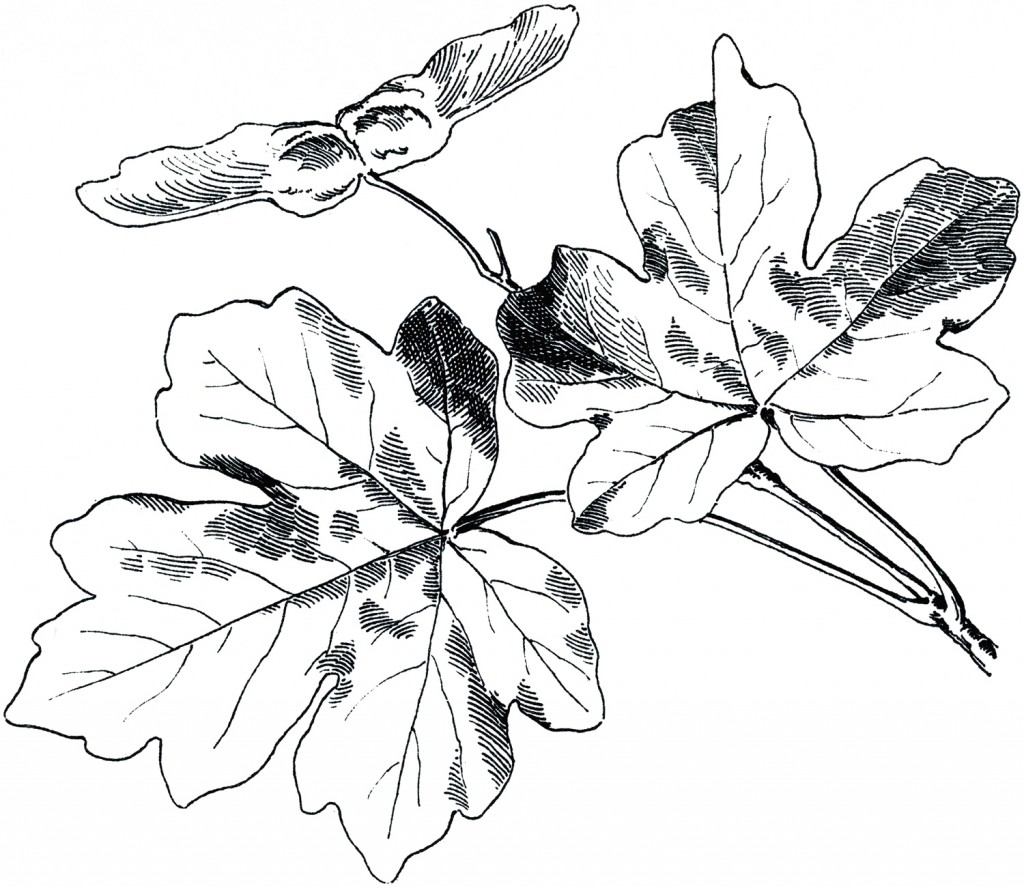 Free Vintage Autumn Images Maple Leaves