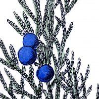 Free Vintage Botanical Clip Art Juniper
