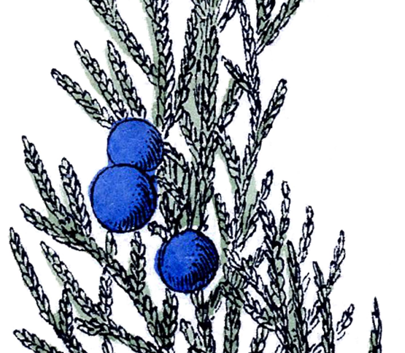 Free Vintage Botanical Clip Art Juniper The Graphics Fairy