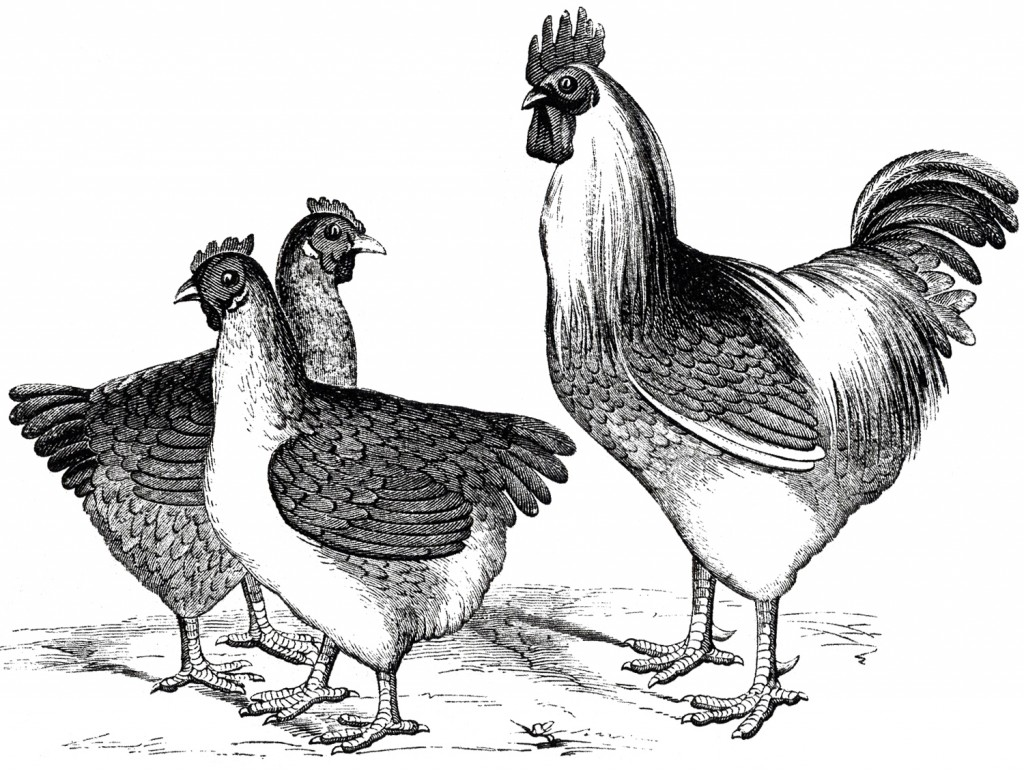 Free Vintage Chicken Graphics