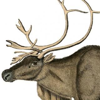 Free Vintage Reindeer Image